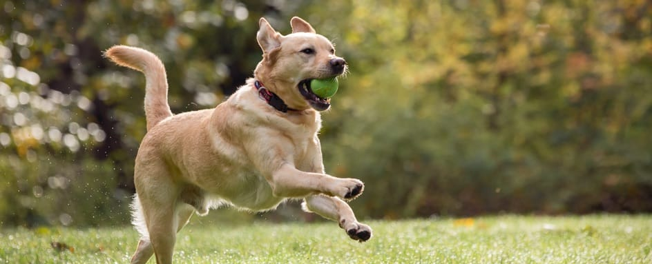 Dog Plays With A Tennis Ball