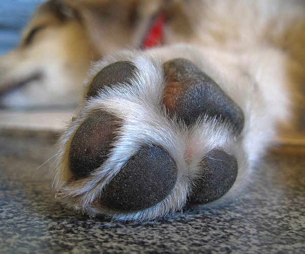 Close up of well trimmed nails and paw