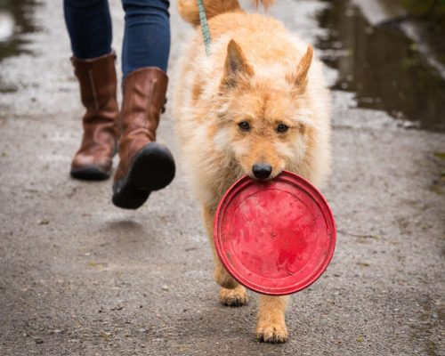 Dog walking with frisbee