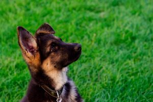 Feeding giant breed puppies for better joint health