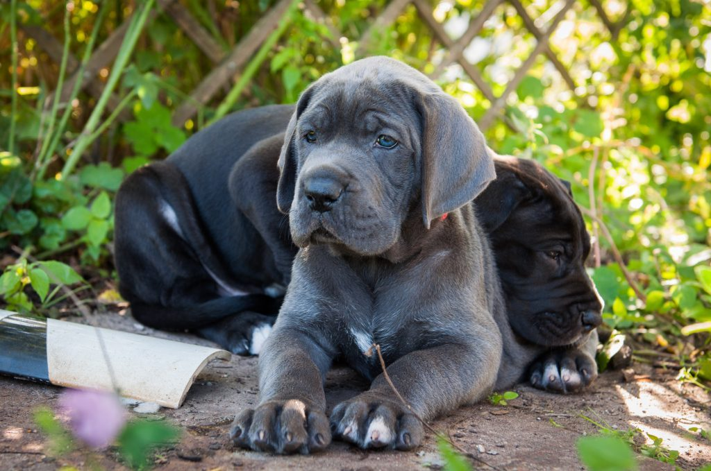 Don't let your giant breed puppy free feed