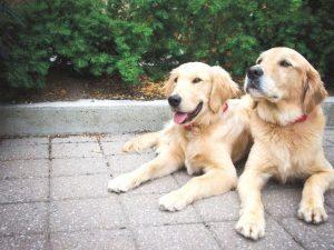 average dog weight golden retriever