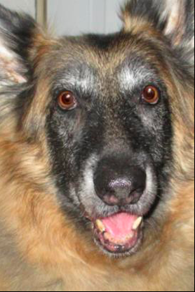Ginger Lead Canine arthritis case study